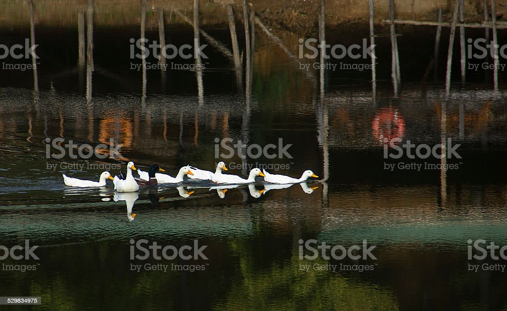 duck in the water stock photo