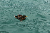 Duck in the water - Stock Image