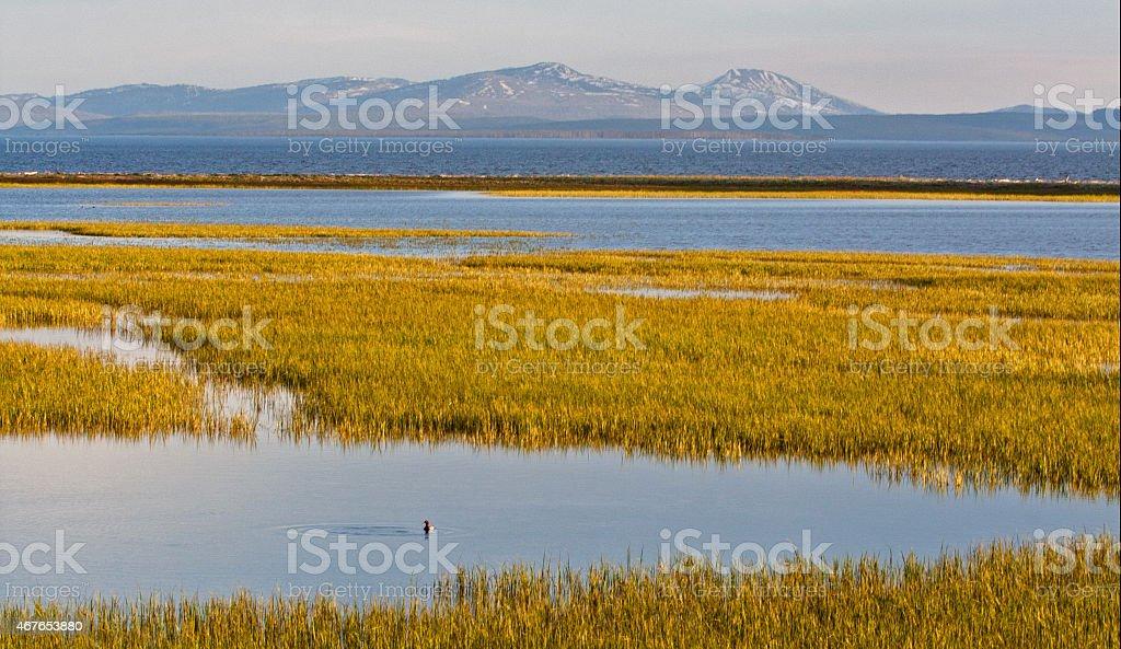 Duck in Yellowstone Lake Marsh stock photo