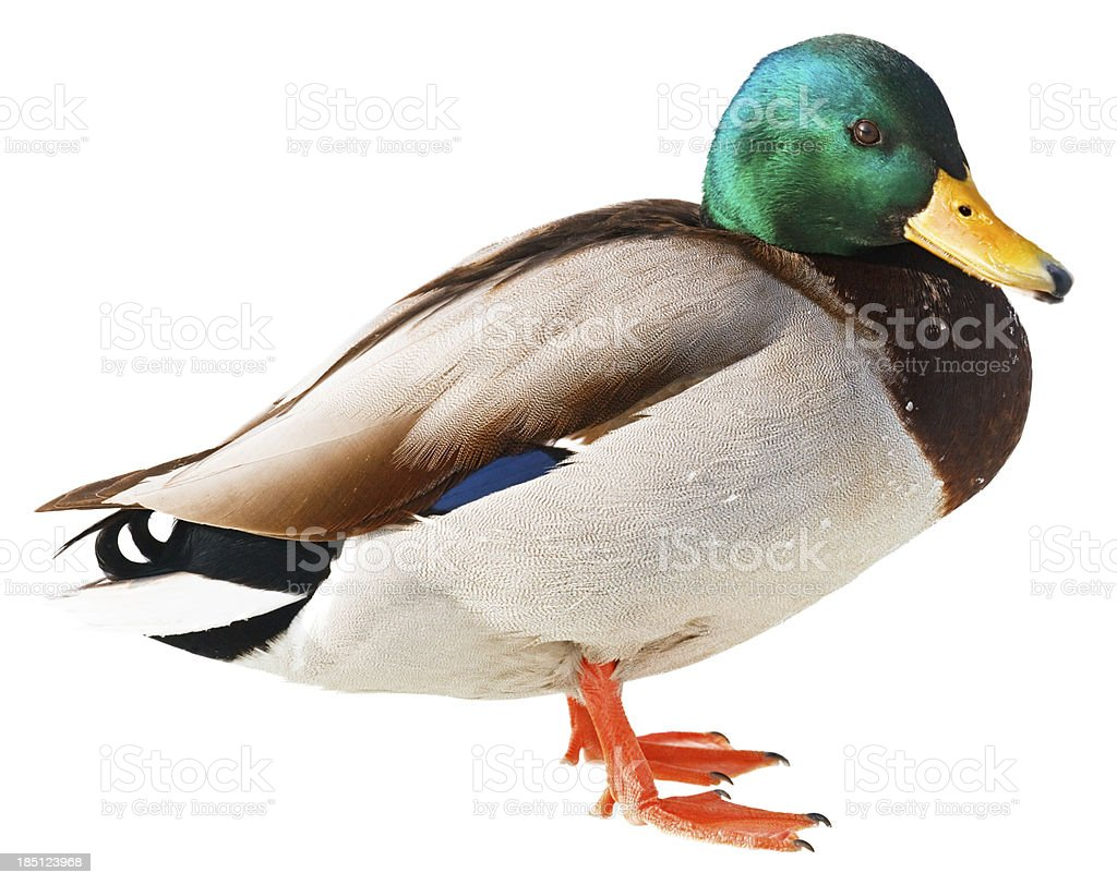 Duck isolated on white background stock photo