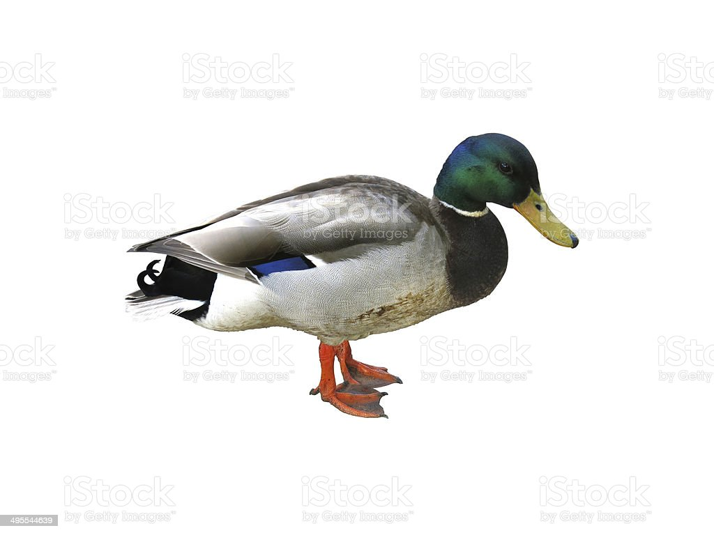Duck isolated on white stock photo