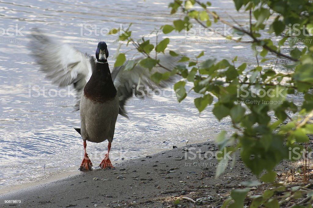 Duck Lift Off royalty-free stock photo
