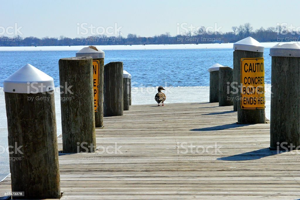 Duck on a dock stock photo