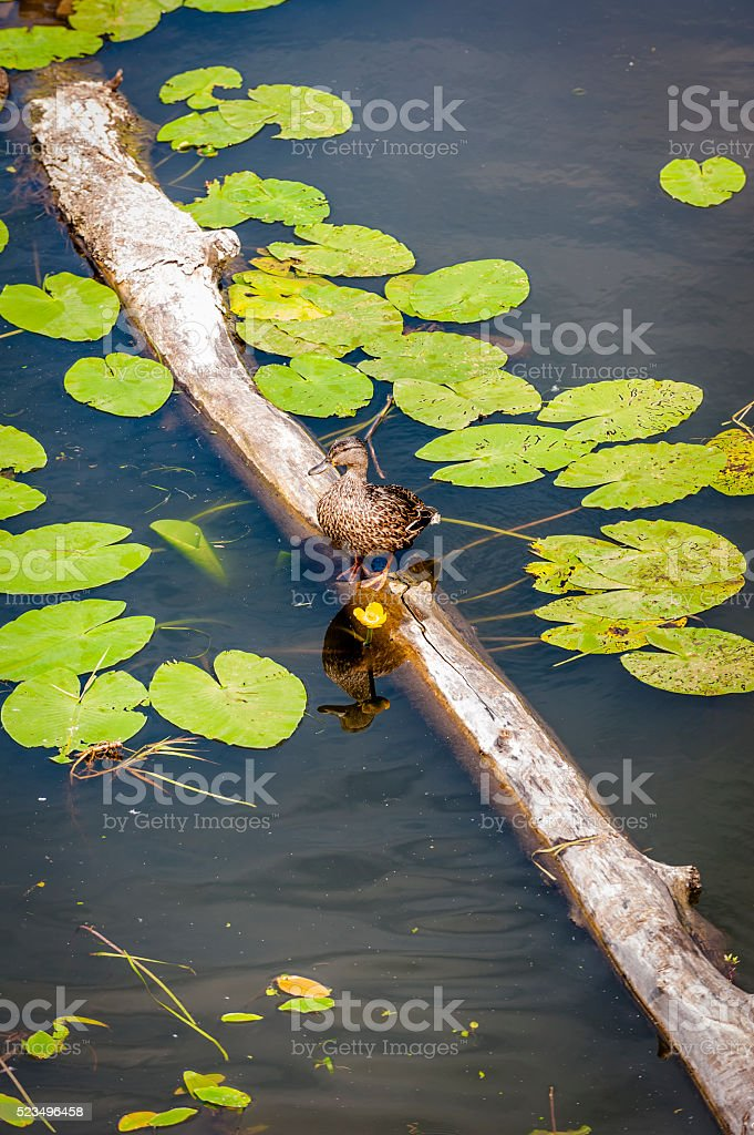 Duck on a Log stock photo