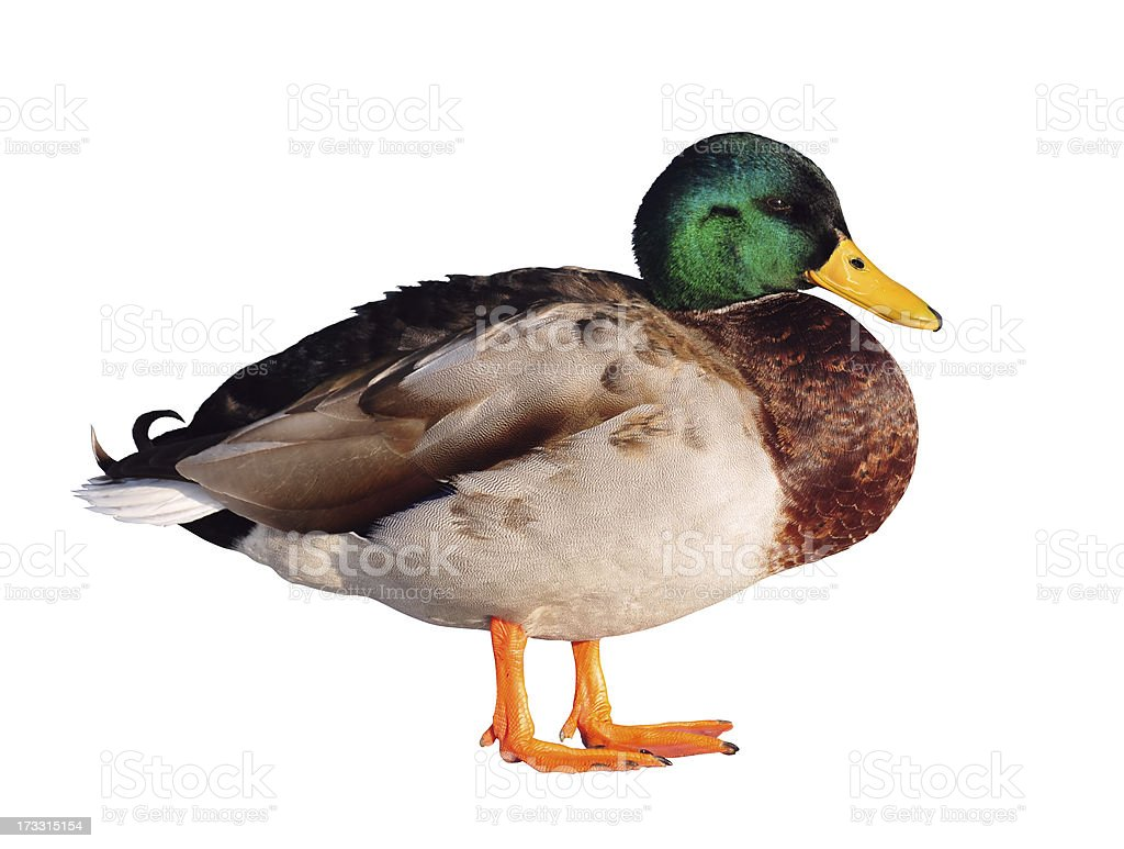 Duck on a white background royalty-free stock photo