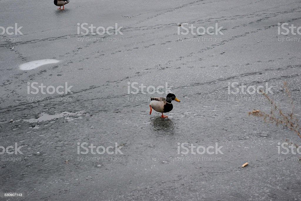 Duck on ice stock photo