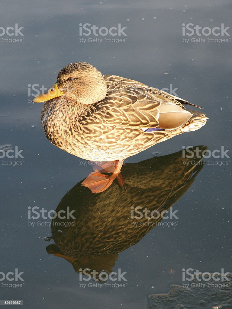 duck on ice royalty-free stock photo