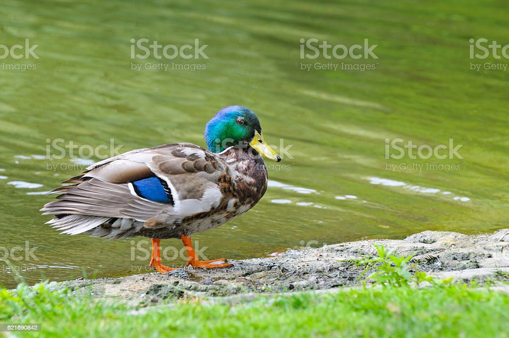 duck on pond background stock photo