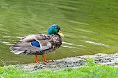 duck on pond background
