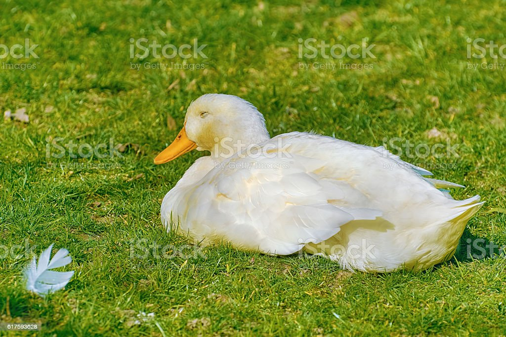 Duck on the Grass stock photo