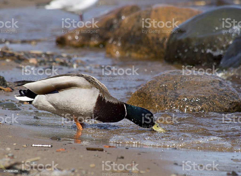 duck on the lake royalty-free stock photo