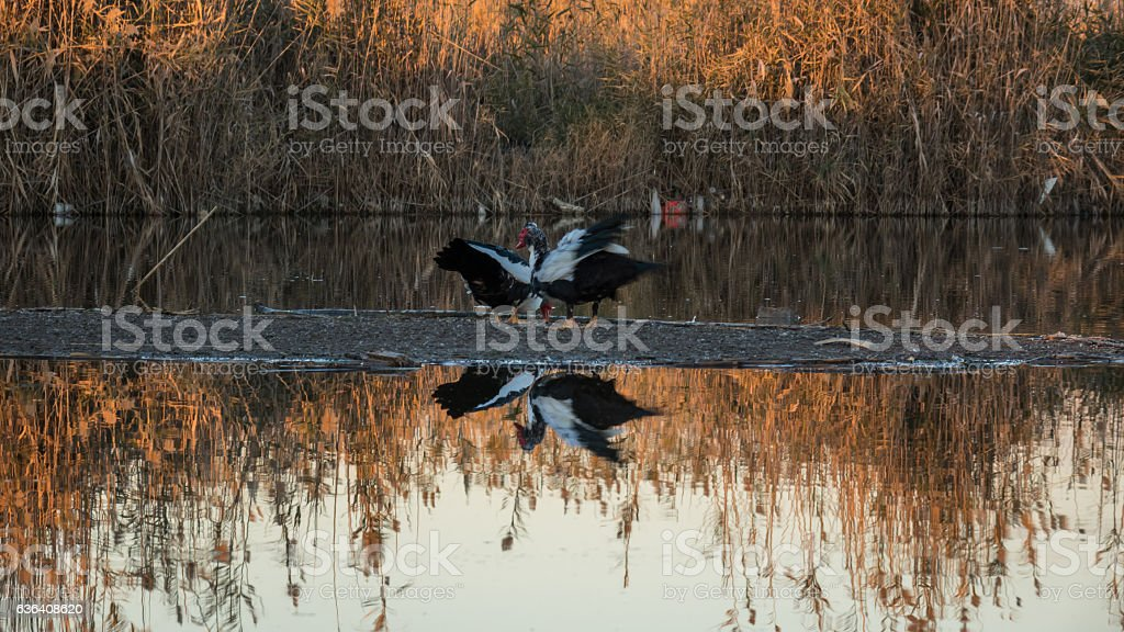 duck on the lake reeds  backgrond stock photo