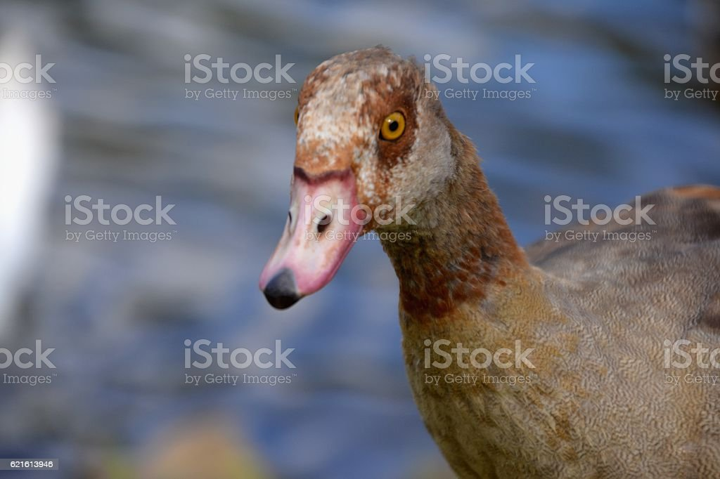 Duck on the Mosel river, Germany stock photo
