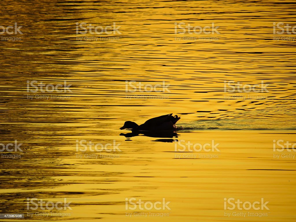 duck on the pond at sunset stock photo