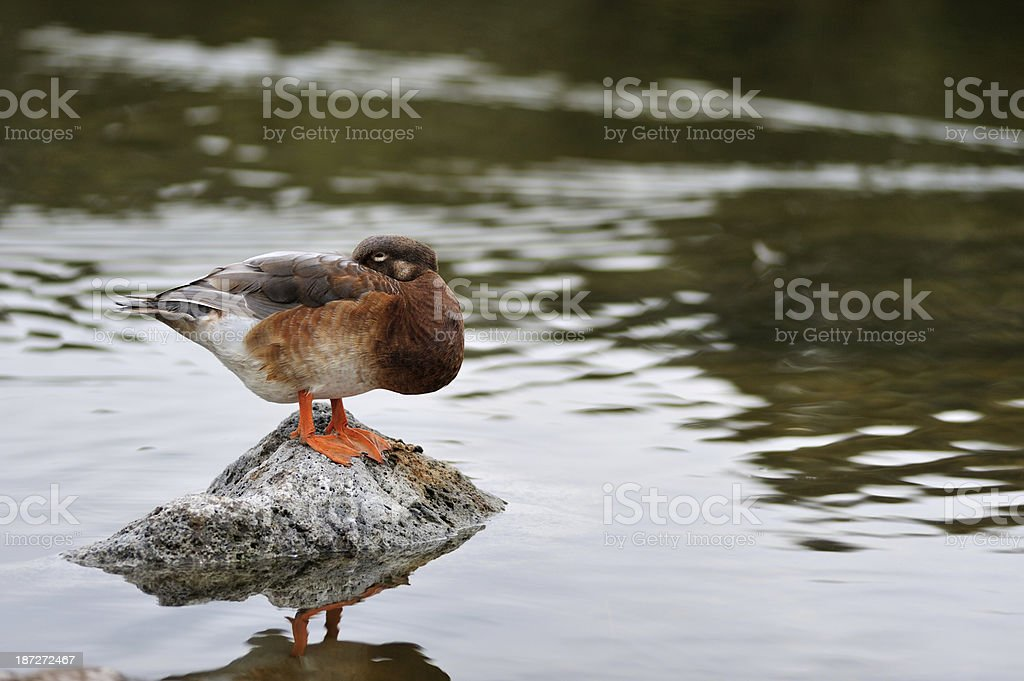 duck on the rock stock photo