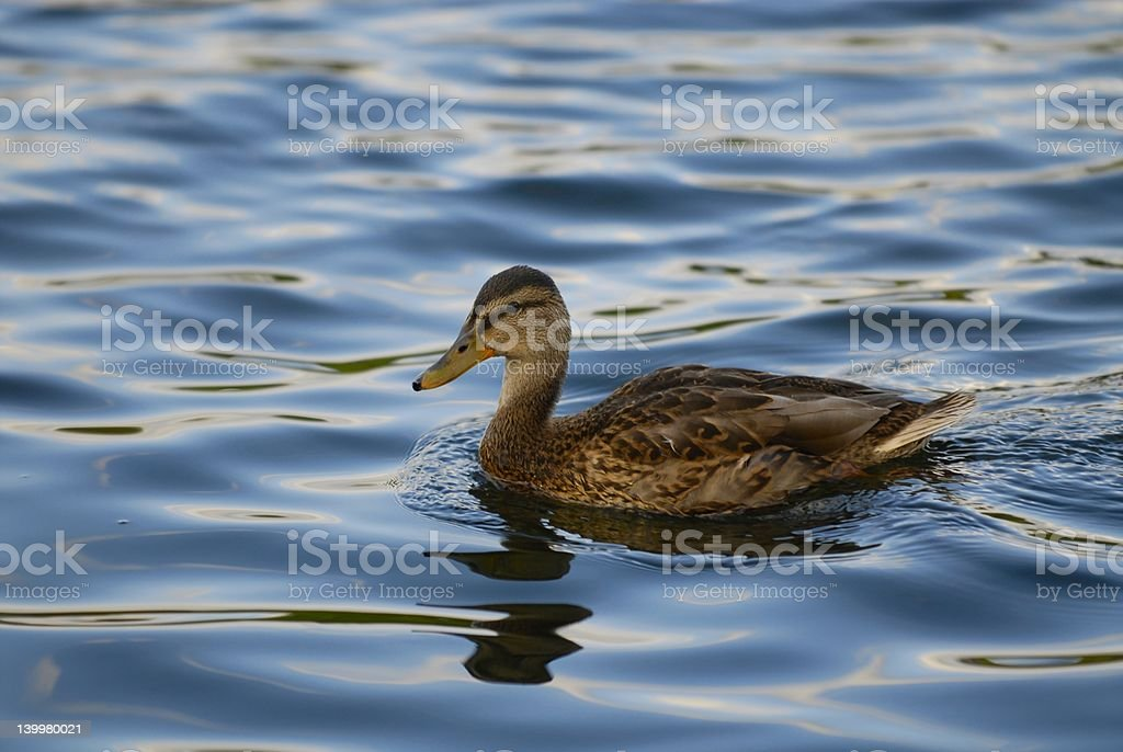 Duck on the water royalty-free stock photo