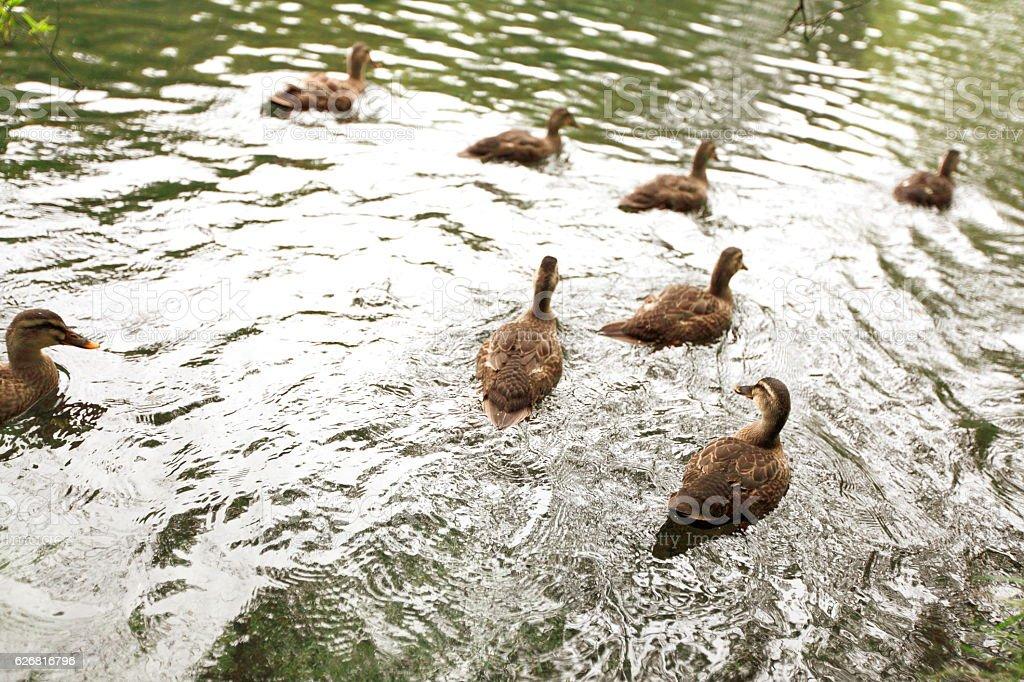 Duck on the water,karuizawa stock photo