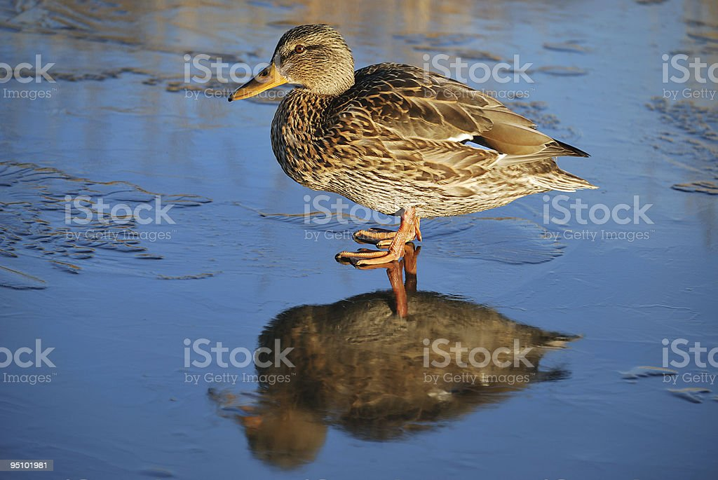 Duck on thin ice royalty-free stock photo