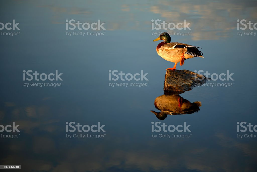 Duck stock photo