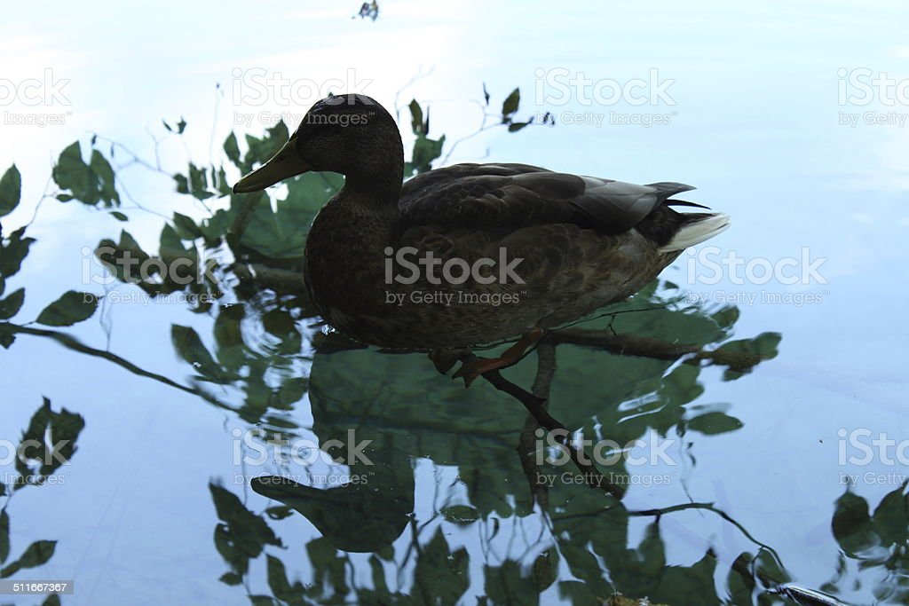 Duck Plitvice National Park. Unesco World Heritage in Croatia royalty-free stock photo
