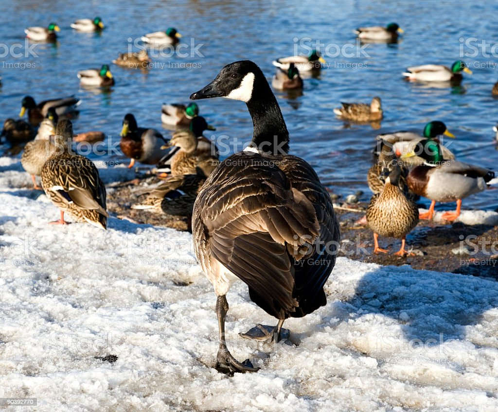 Duck pond royalty-free stock photo