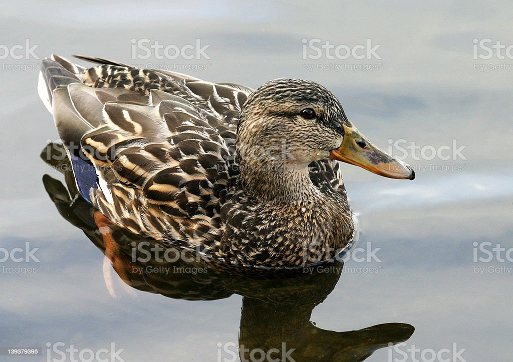 Duck Portrait royalty-free stock photo