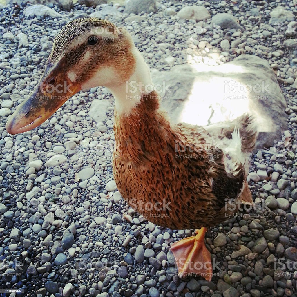 Duck portrait royalty-free stock photo