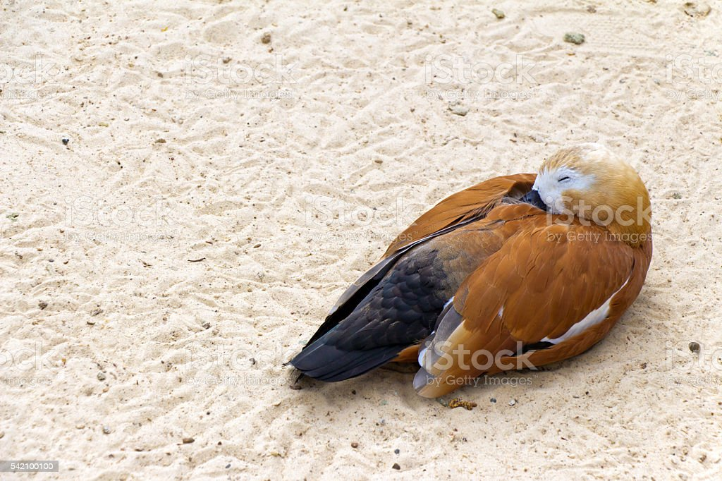 Duck (brown goose) relax and sleeping on the sand (Latin: stock photo