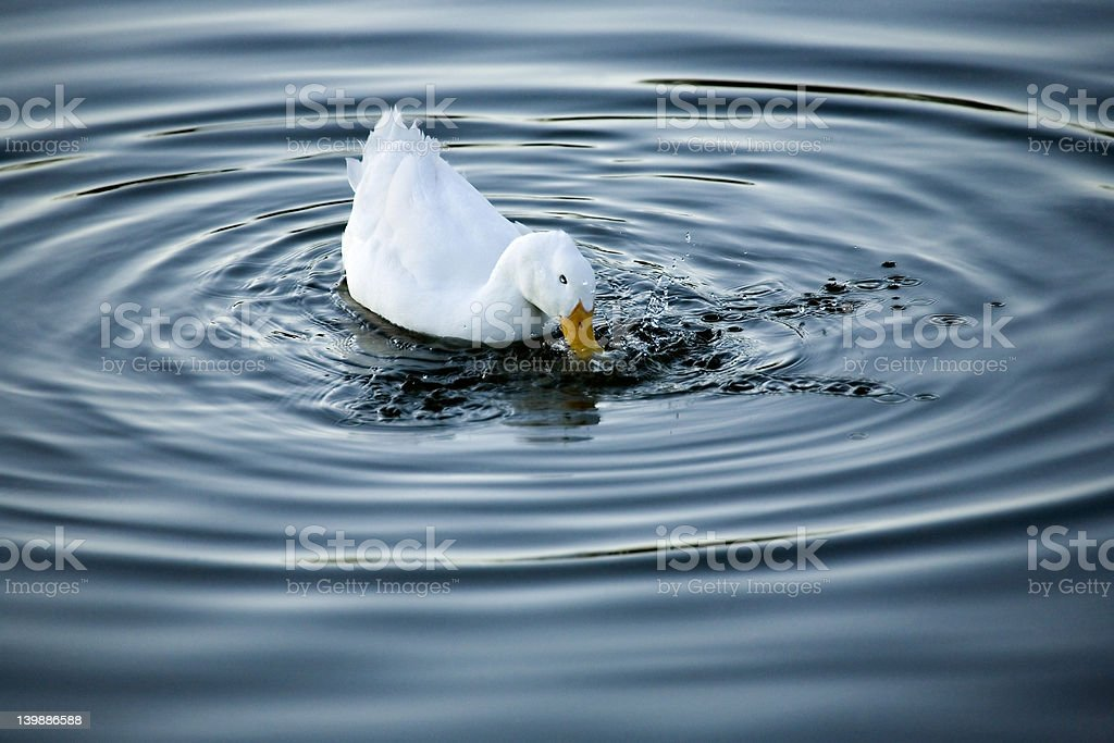 Duck Splash stock photo