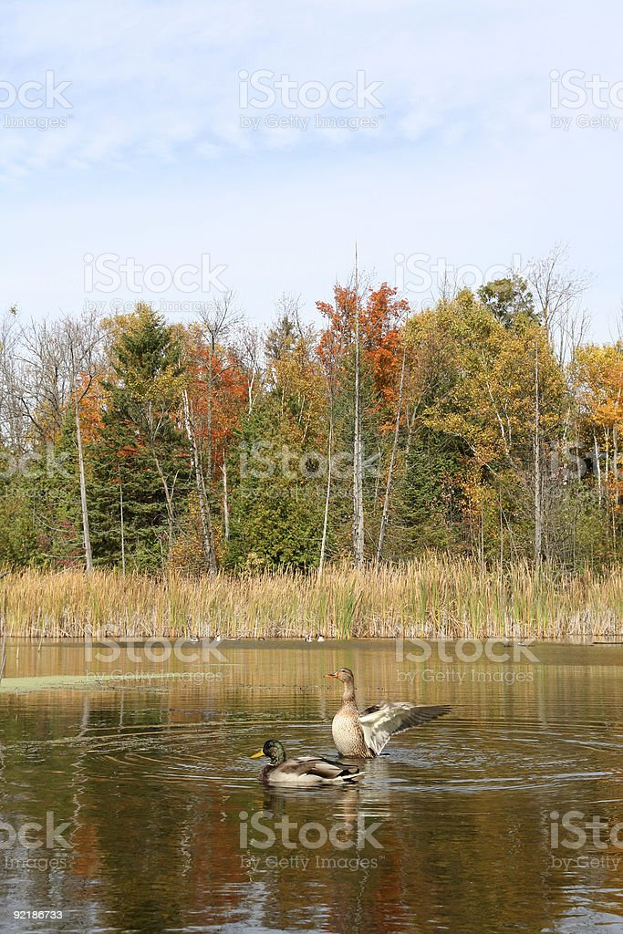 Duck Spreading Wings During Autumn royalty-free stock photo