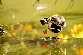 Duck standing on a rock