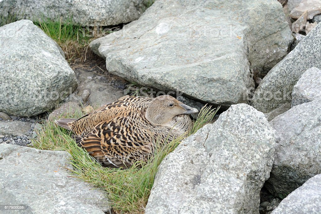 Duck surrounded by rocks stock photo