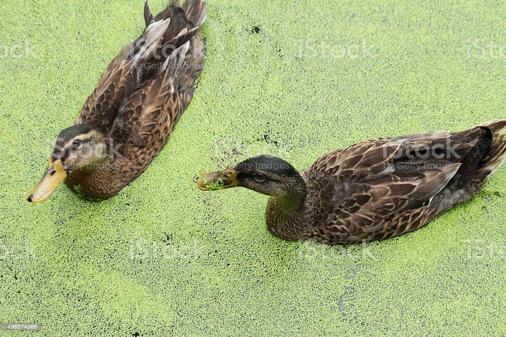 Duck Swim stock photo
