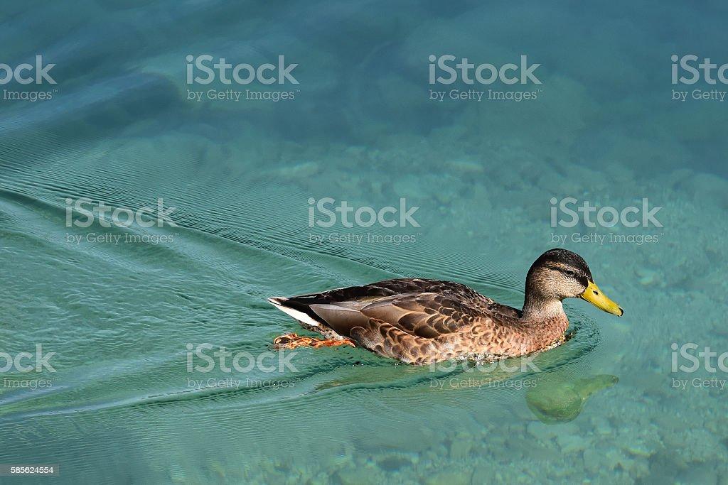 Duck swimming fast stock photo