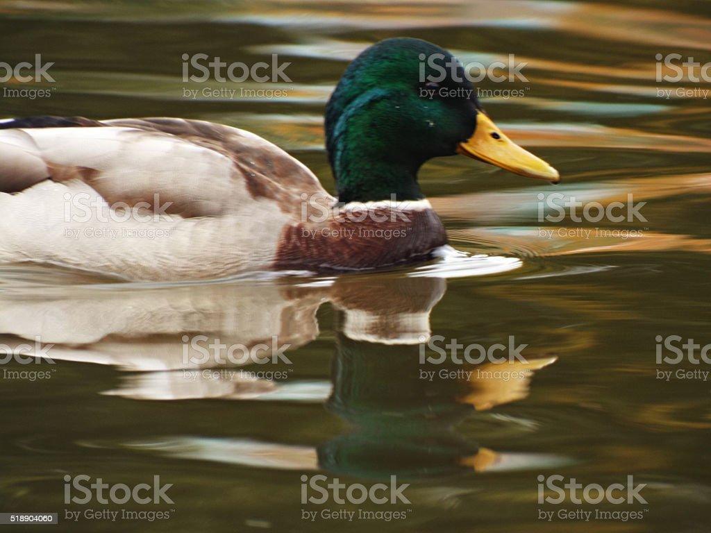 Canard nageant dans un étang photo libre de droits