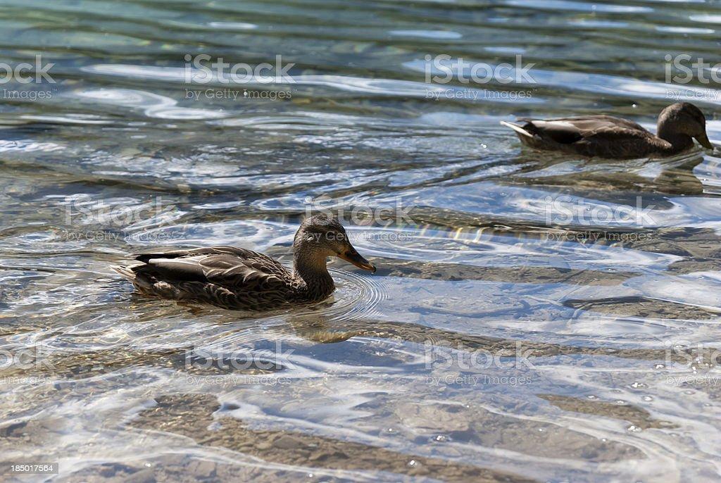 Duck swimming in Fusine Lake royalty-free stock photo