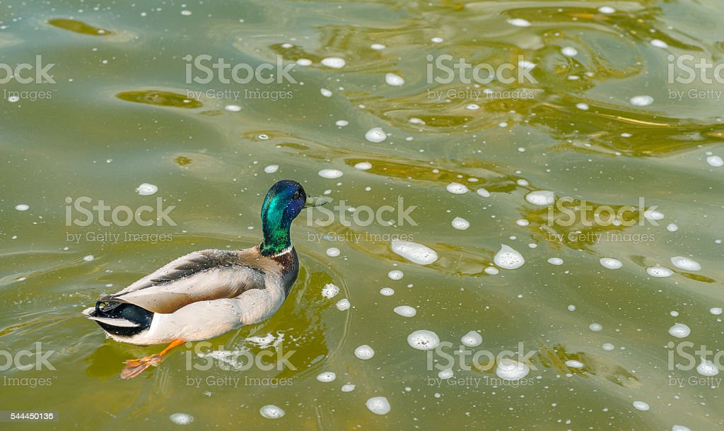 Duck swimming in the water. stock photo