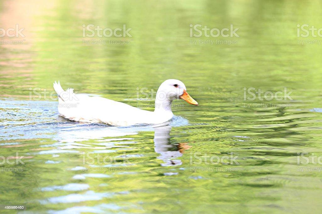 Duck Swimming In Water stock photo