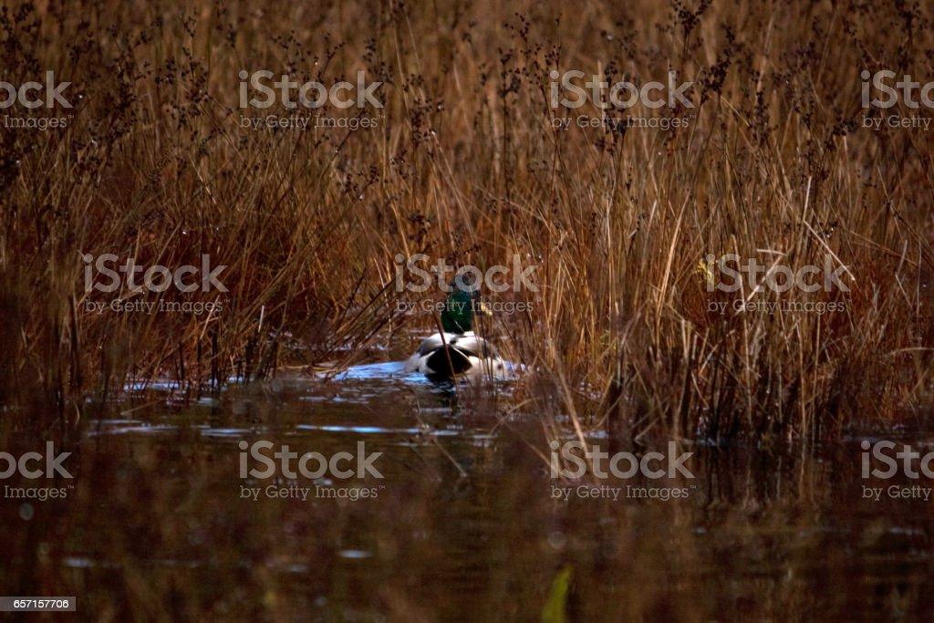 Duck Swimming through Tall Grass stock photo