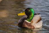 duck swims in creek