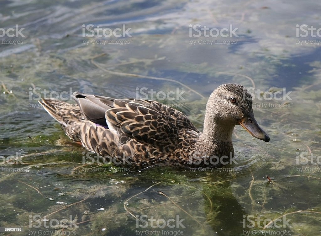 Duck to Water stock photo