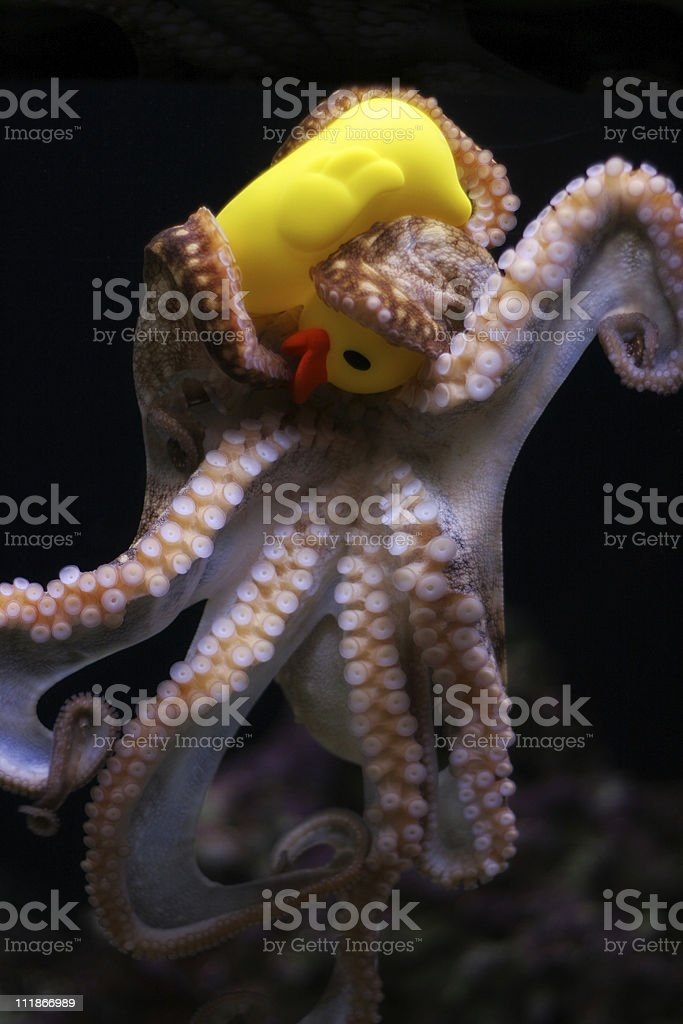 Duck Vs Octopuss royalty-free stock photo