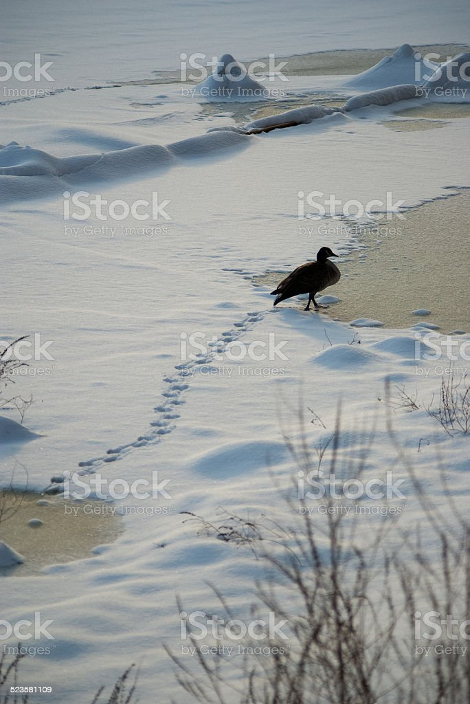 Duck walking on frozen, snow covered river stock photo