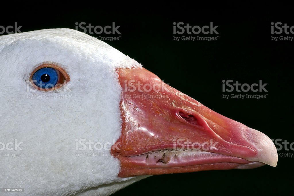 duck whit blue eye in buenos aires royalty-free stock photo