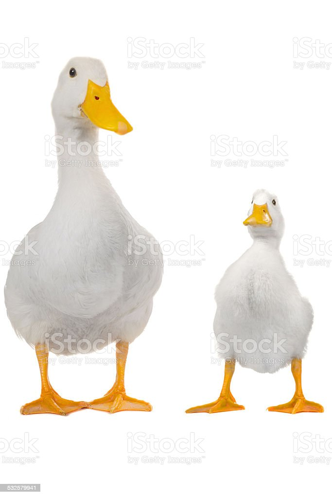 duck white stock photo