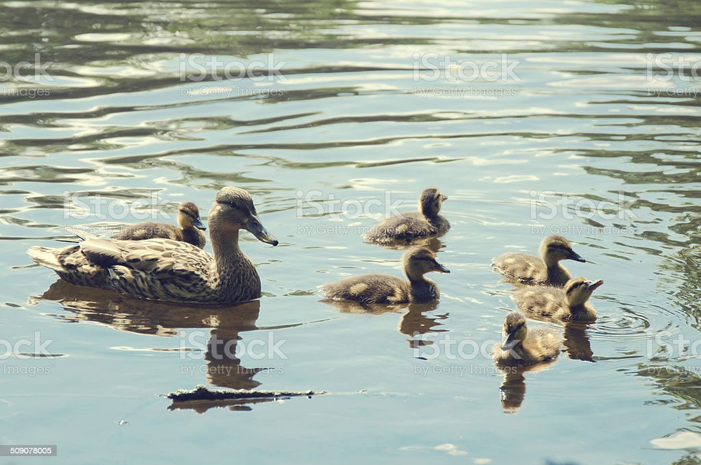 Pato com pintos foto de stock royalty-free