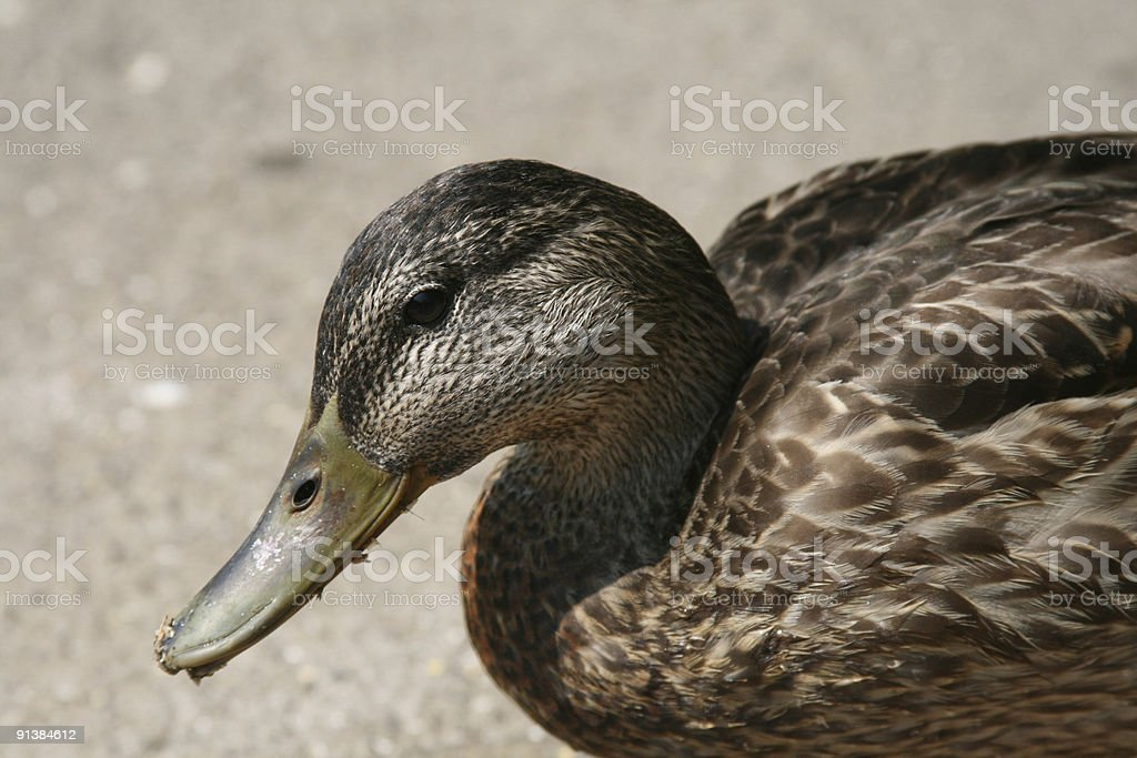 Duck with dirty mouth stock photo