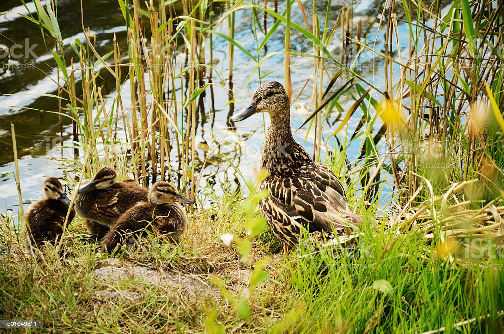duck with ducklings in the reeds stock photo