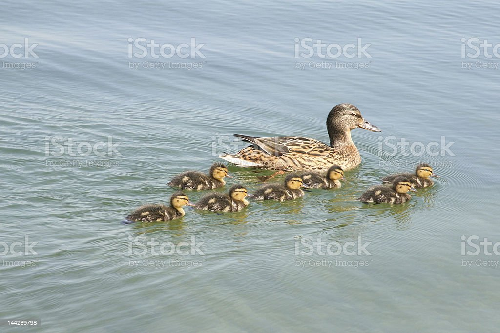 Duck with ducklings stock photo