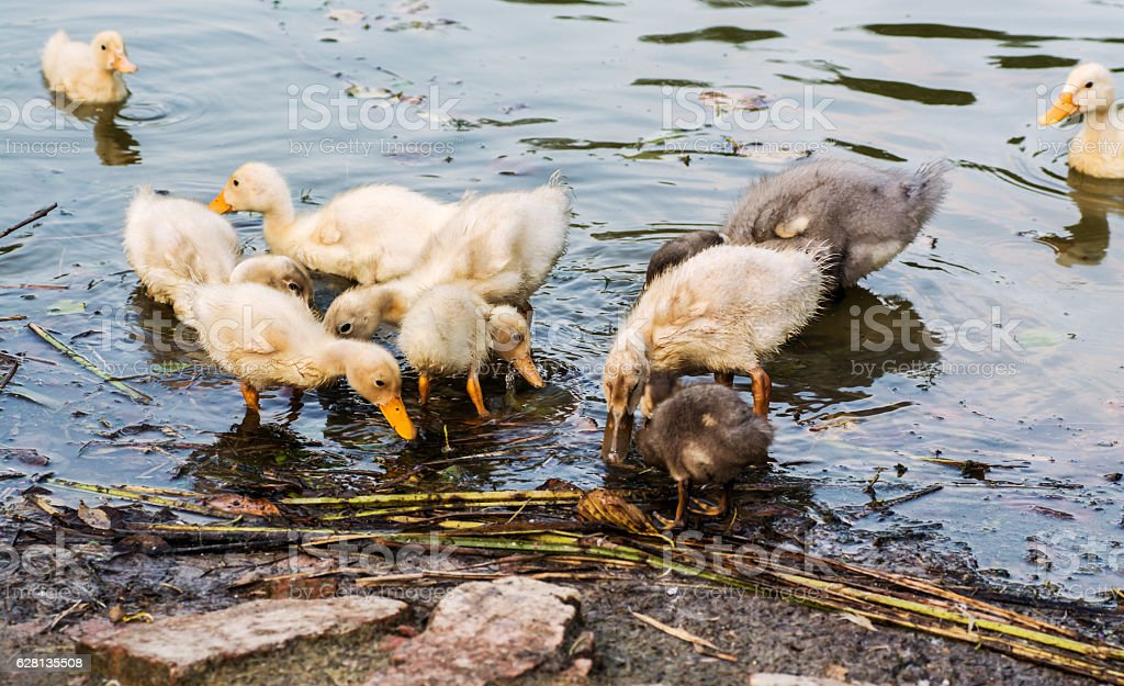 Duck with ducklings swimming in the lake and eat fish stock photo